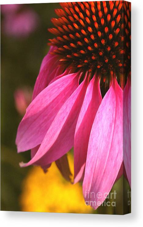 Coneflower Canvas Print featuring the photograph Purple Coneflower Close-up by Steve Augustin