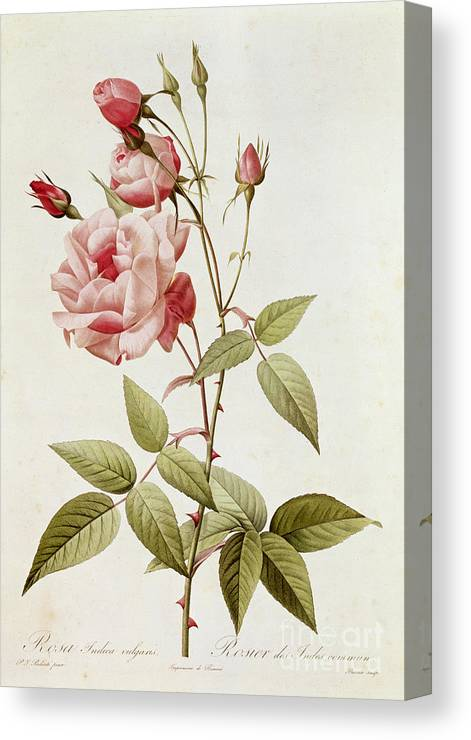 Rosa Canvas Print featuring the painting Rosa Indica Vulgaris by Pierre Joseph Redoute