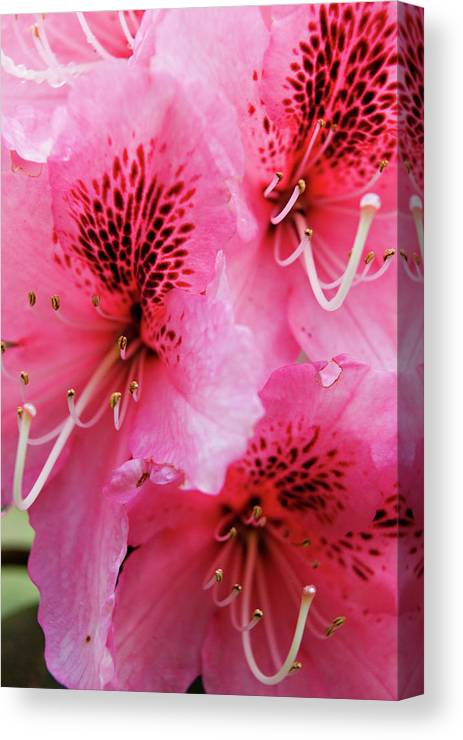 Oregon Canvas Print featuring the photograph Springtime Azalea by Renee Hong