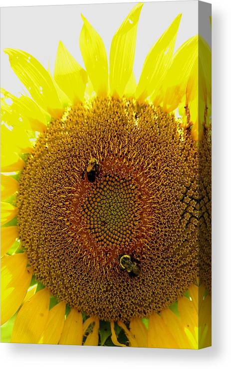 Sunflower Canvas Print featuring the photograph Sunflower With Bees by Bob Guthridge