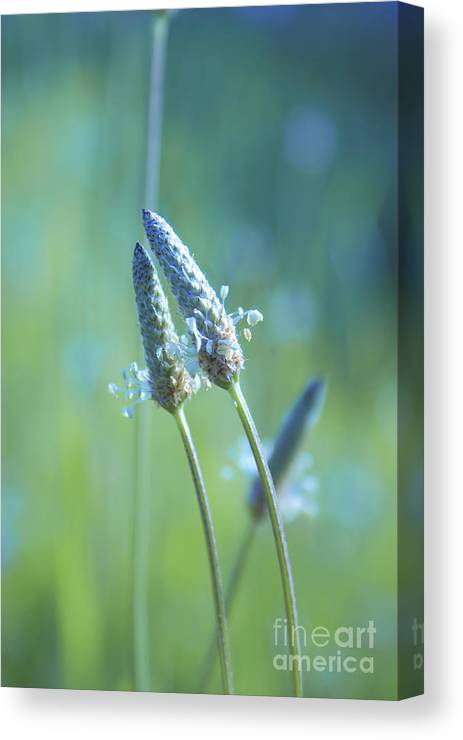 Plants Canvas Print featuring the photograph Tender Lovers by Aimelle