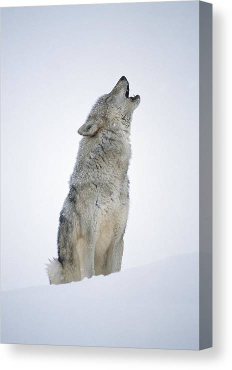 00174271 Canvas Print featuring the photograph Timber Wolf Portrait Howling In Snow by Tim Fitzharris