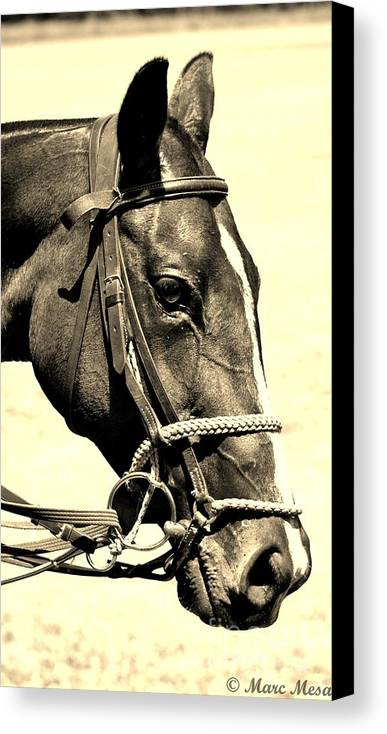 Polo Pony Canvas Print featuring the photograph Polo Pony Head Study by Marc Mesa