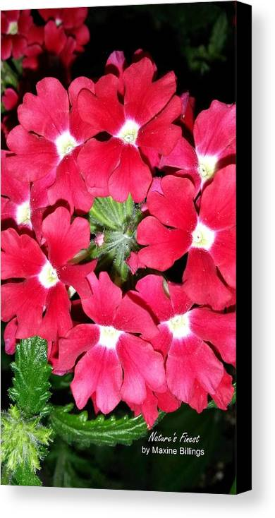Flowers Canvas Print featuring the photograph Ball Of Fire by Maxine Billings