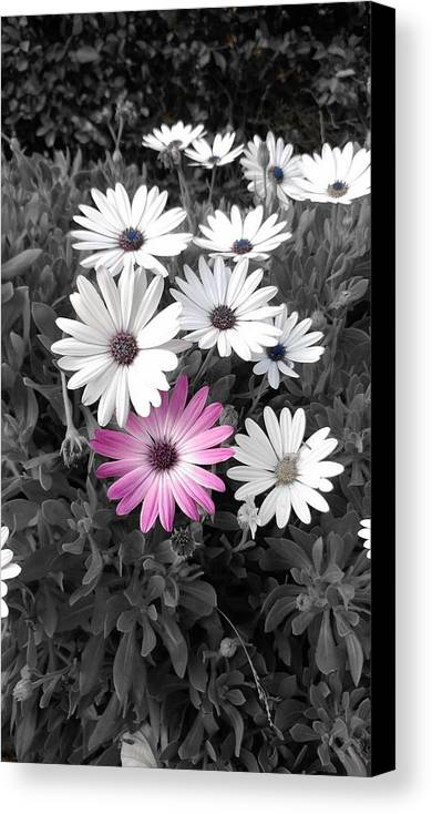 Flowers Canvas Print featuring the photograph Daisy by Amy Bliss