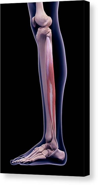 Artwork Canvas Print featuring the photograph Leg Muscle by Sebastian Kaulitzki/science Photo Library