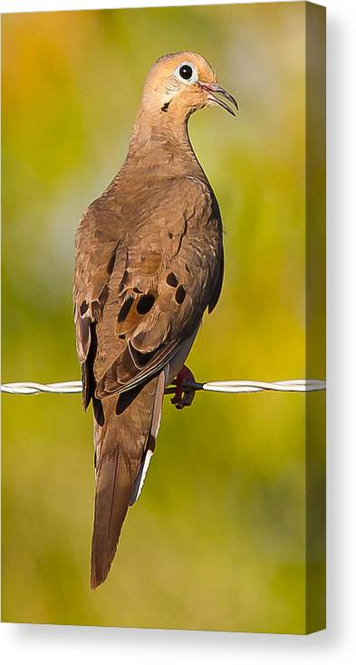 Doves Wildlife Outdoors Canvas Print featuring the photograph A Morning Dove by Brian Williamson