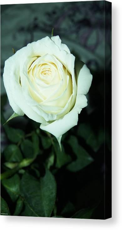 Canvas Print featuring the photograph Rose For You by Gornganogphatchara Kalapun