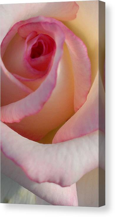 Rose Canvas Print featuring the photograph Morning Rose by LKB Art and Photography