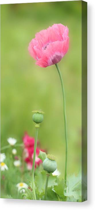 Poppy Canvas Print featuring the photograph Poppy by Heike Hultsch