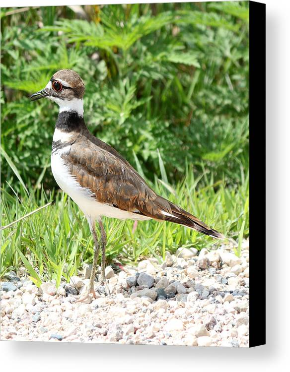 Killdeer Canvas Print featuring the photograph Killdeer by Lori Tordsen