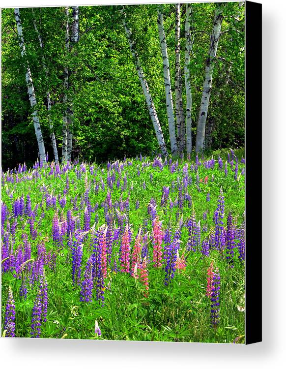 Lupine Canvas Print featuring the photograph A Breathless Moment Among Lupine by Wayne King