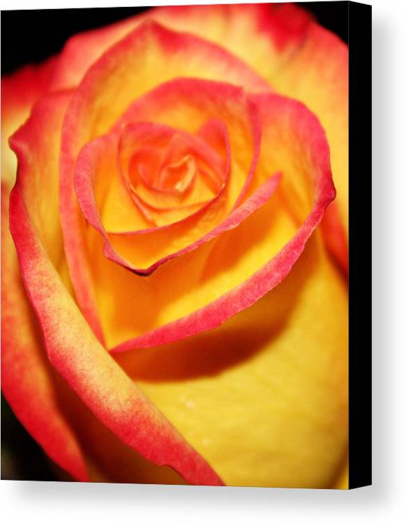 Roses Canvas Print featuring the photograph Close-up by Cathie Tyler