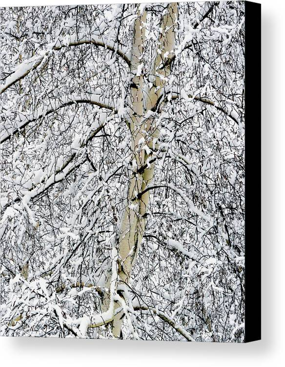 Birch Trees Canvas Print featuring the photograph Rising Majesty by Bryan Shane