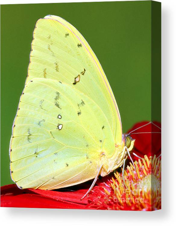 Orange Barred Sulfur Butterfly Canvas Print featuring the photograph Orange Barred Sulfur Butterfly by Millard H. Sharp