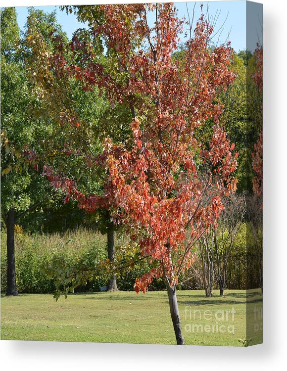 Autumn Oak Tree Prints Canvas Print featuring the photograph Autumn Oak Tree by Ruth Housley