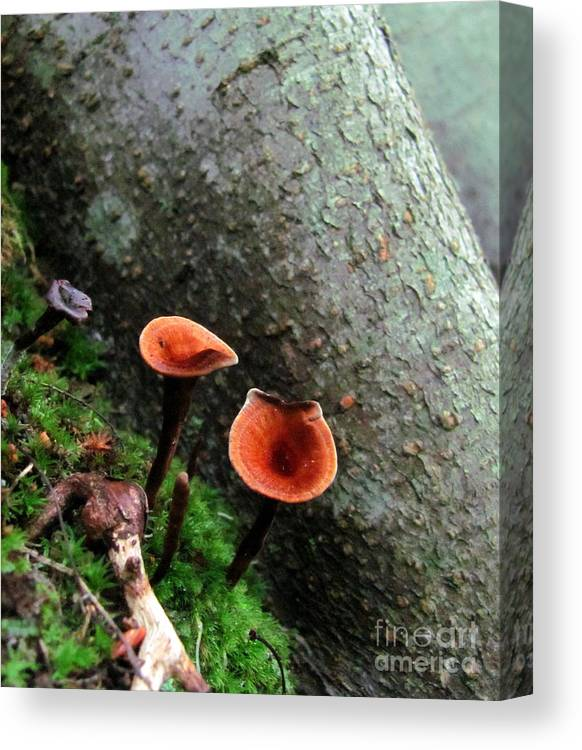 Fairy Stools Fairy Stool Images Fairy Stool Mushrooms Fairy Stool Prints Cinnamon Polypores Prints Cinnamon Polypore Images Maryland Forest Fungi Maryland Forest Flora Oldgrowth Forest Preservation Biodiversity Conservation Forest Fungi Ecology American Mycology Midatlantic Mushrooms Wildlife Habitat Ecosystem Forest Health Rare Life Rare Species Natural Resources Natural Science Environmental Responcability Outdoor Education Environmental Stewardship Naturalist Nature Photography False Tinder Canvas Print featuring the photograph Cinnamon Polypore by Joshua Bales
