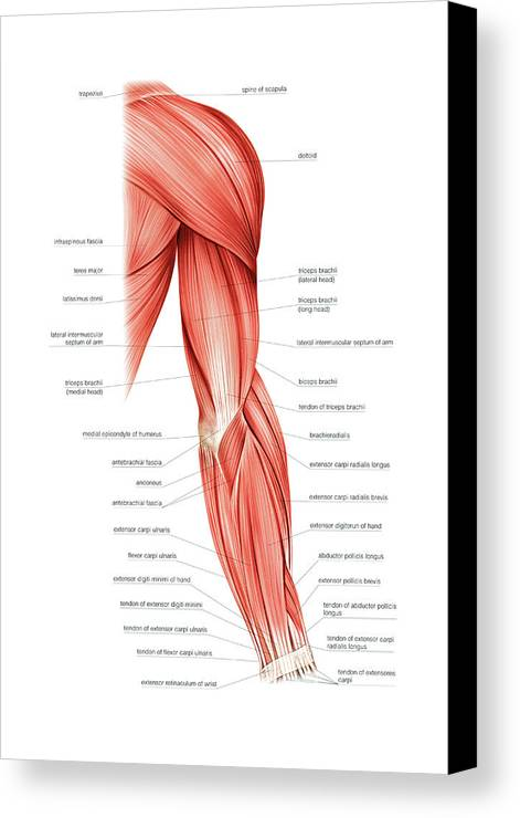 Muscles Of Right Upper Arm Canvas Print / Canvas Art by Asklepios ...