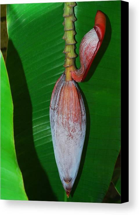 Banana Bud Canvas Print featuring the photograph Banana Tree Bud by Connie Fox