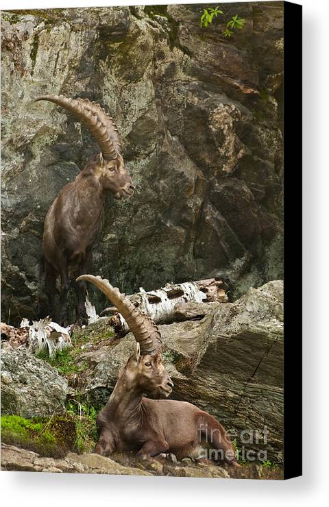 Ibex Canvas Print featuring the photograph Ibex Pictures 112 by World Wildlife Photography