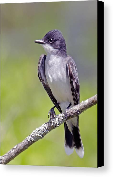 Bird Canvas Print featuring the photograph Kingbird by Bob McConnell