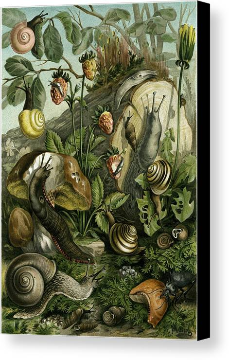 Land Molluscs Canvas Print featuring the drawing Land Molluscs Or Snails And Slugs by English School