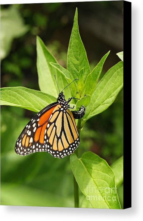 Monarch Canvas Print featuring the photograph Monarch Egg Time by Steve Augustin