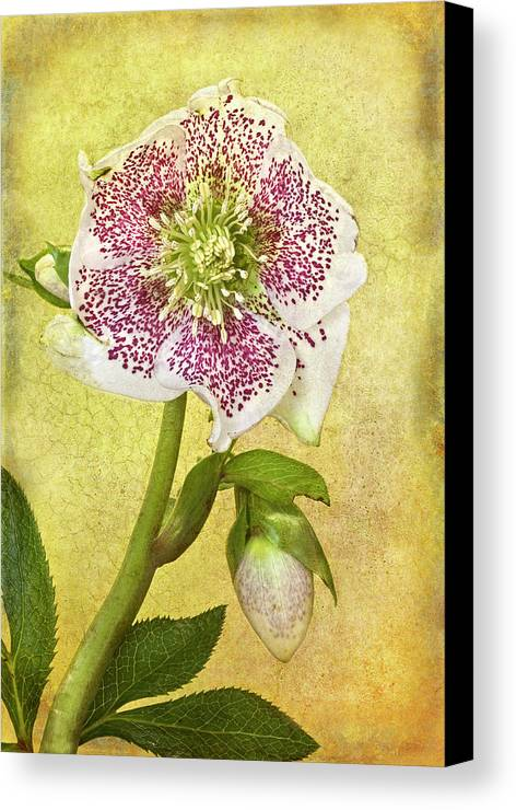 Vertical Canvas Print featuring the photograph Hellebore Flower by © Leslie Nicole Photographic Art