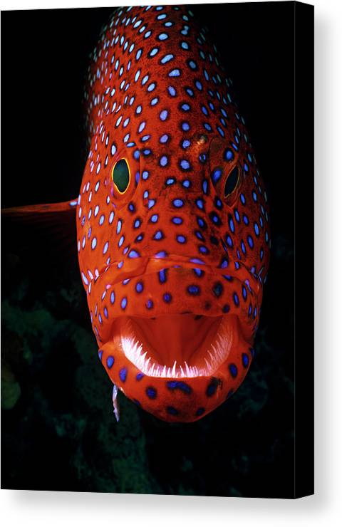 Vertical Canvas Print featuring the photograph Jewel Grouper, Cephalopholis Miniata by Jeff Rotman