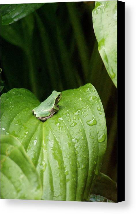 Spring Peeper Canvas Print featuring the photograph Spring Peeper by Jon Lord