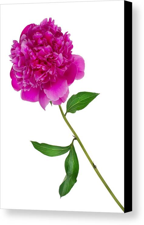 Peony Canvas Print featuring the photograph Little Ant And Peony by Aleksandr Volkov