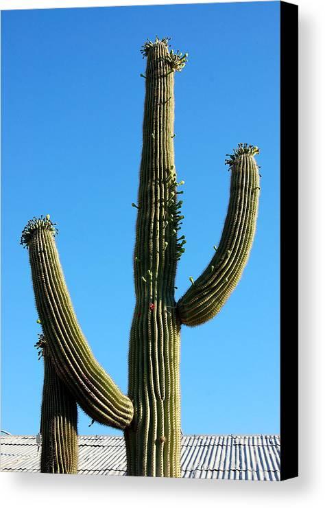 Saguaro Canvas Print featuring the photograph Saguaro by Heather S Huston