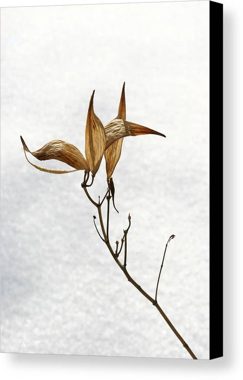 Flower Canvas Print featuring the photograph After Setting Seed by Steve Augustin