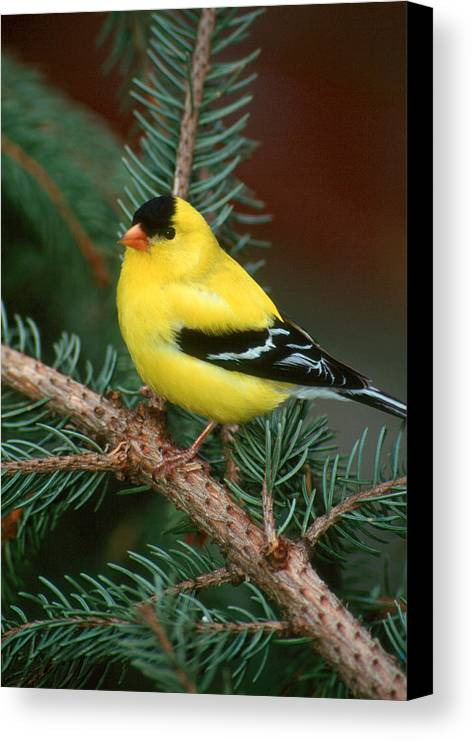 Bird Canvas Print featuring the photograph American Goldfinch by Raju Alagawadi