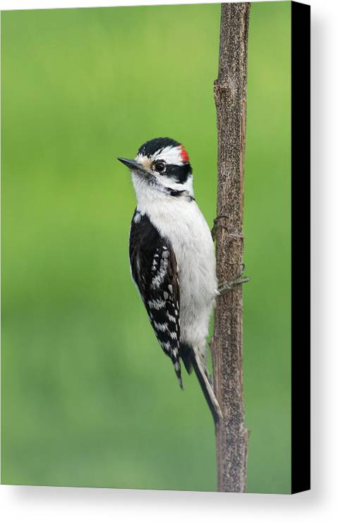 Downy Canvas Print featuring the photograph Cute And Ornery by Jim Zablotny