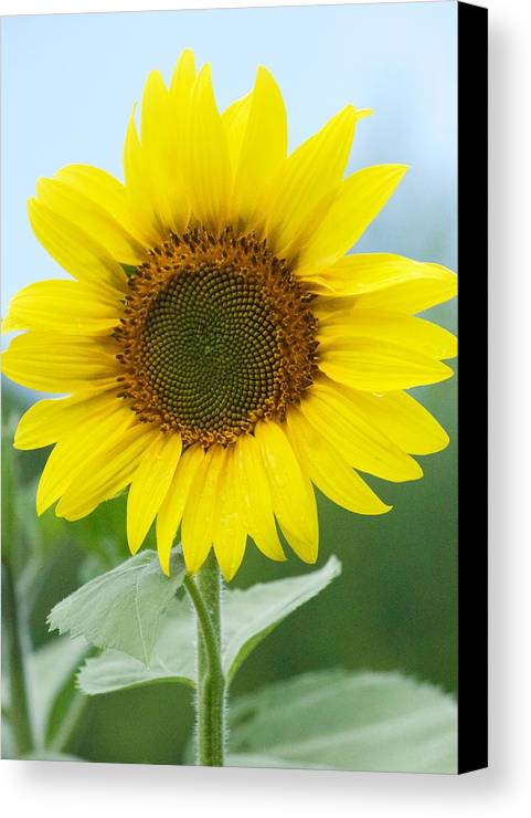 Flower Canvas Print featuring the photograph Dazzling Sunflower by Tiffany Erdman