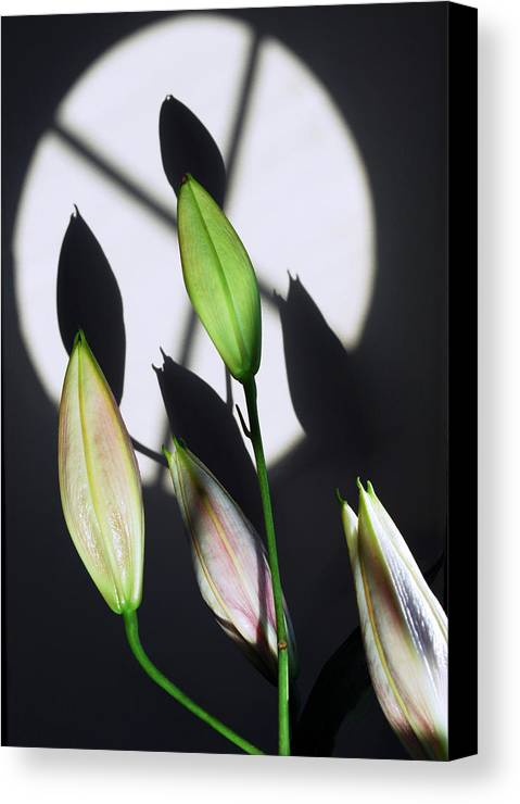Lily Canvas Print featuring the photograph Lily Buds In The Spotlight. by Terence Davis