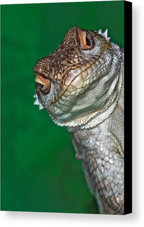 Vertical Canvas Print featuring the photograph Look Reptile, Lizard Interested By Camera by Pere Soler