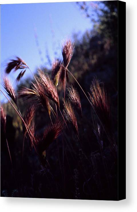 Nature Canvas Print featuring the photograph Red Feathers by Randy Oberg