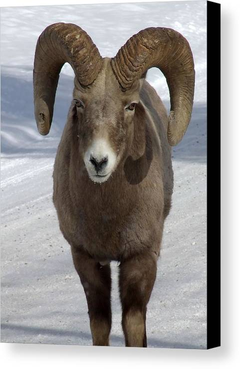 Bighorn Ram Canvas Print featuring the photograph Rocky Mountain Ram In Winter by Tiffany Vest