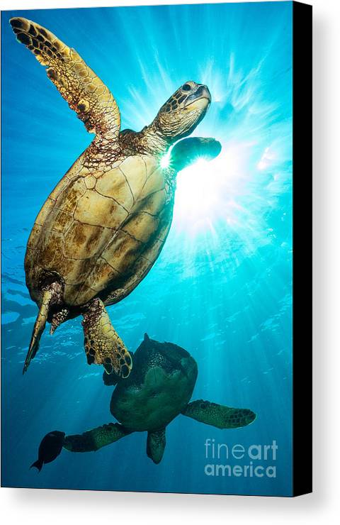 Green Sea Turtle Canvas Print featuring the photograph Sunburst by Aaron Whittemore