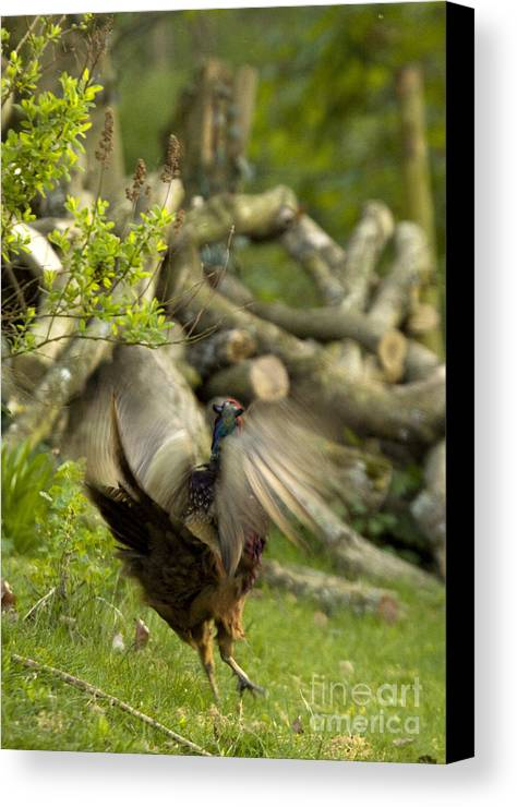 Pheasant Canvas Print featuring the photograph The Movement by Angel Ciesniarska