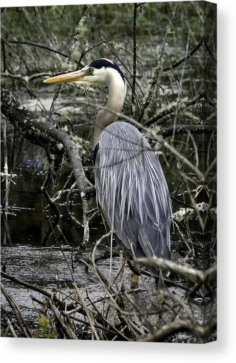 Great Blue Heron Canvas Print featuring the photograph Great Blue Heron by Betty Depee