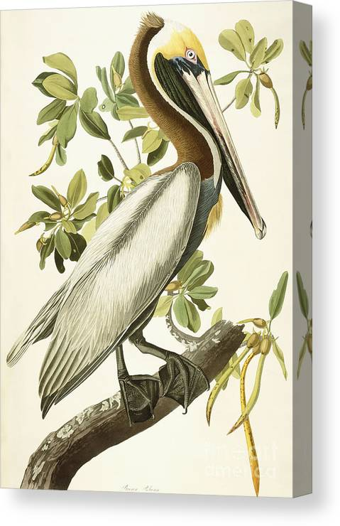 Brown Pelican Canvas Print featuring the painting Brown Pelican by John James Audubon