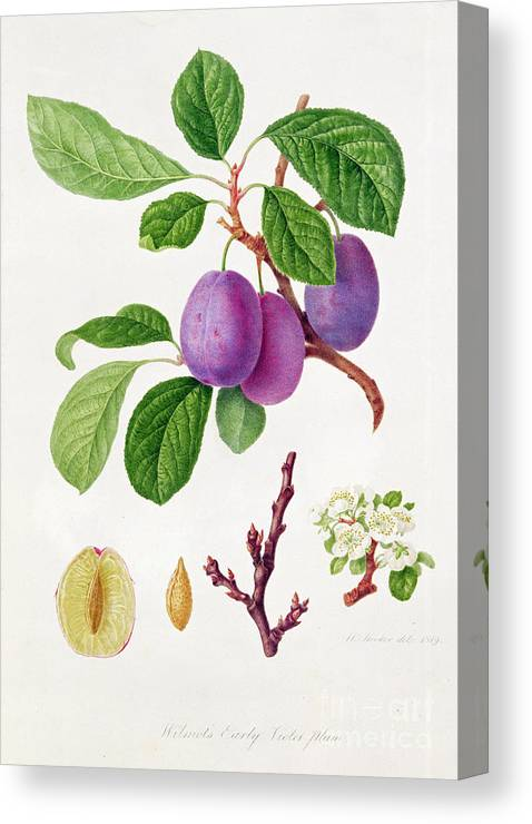 Plums; Plum Blossom; Fruit; Branch; Cross-section; Leaves; Botanical Illustration Canvas Print featuring the painting Wilmot's Early Violet Plum by William Hooker