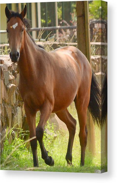 Portrait Picture Of Brown Horse Trotting. Horse Has A White Mark On Forehead. Canvas Print featuring the photograph Proud Horse by Joris Shaw