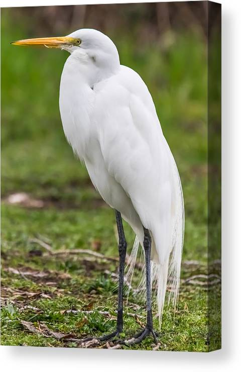 California Canvas Print featuring the photograph Great White Egret Vertical by Marc Crumpler