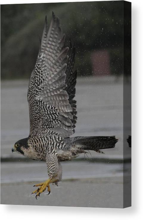 Peregrine Falcon Canvas Print featuring the photograph The Peregrine Falcon by Christopher Kirby