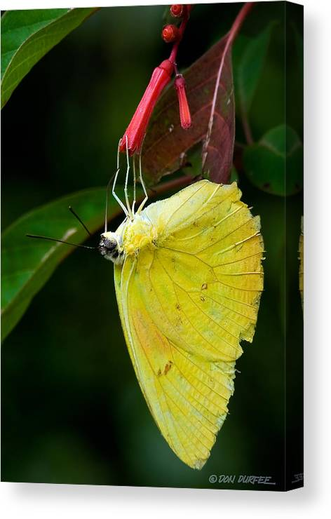 Butterfly Canvas Print featuring the photograph Yellow And Red by Don Durfee