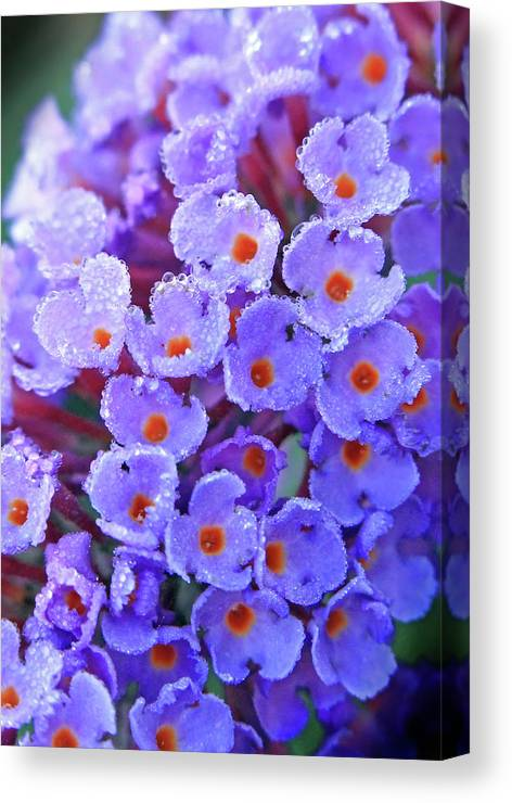 Dew Canvas Print featuring the photograph Purple Flowers In The Morning Dew by C Gerber